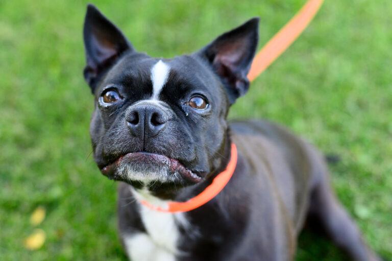 Boston terrier dog close up